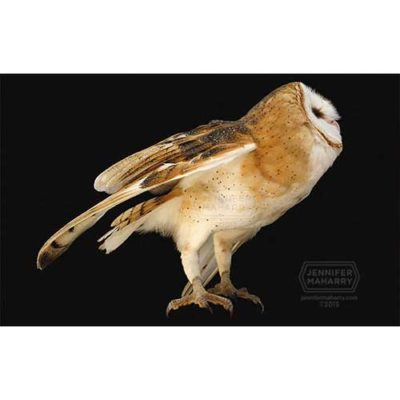 barn-owl-product-page