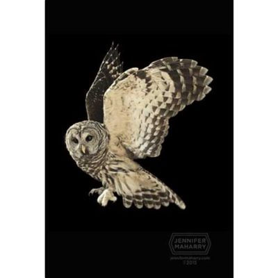 barred-owl-product-page