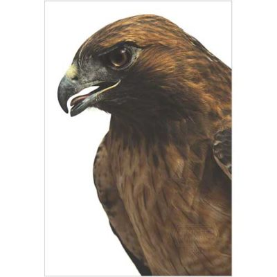 red-tail-hawk-face-product-page