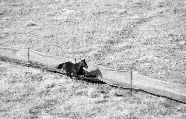 """4.  """"Judas"""" runs into center of trap. Wild mustangs see him from outside fence and follow him in."""