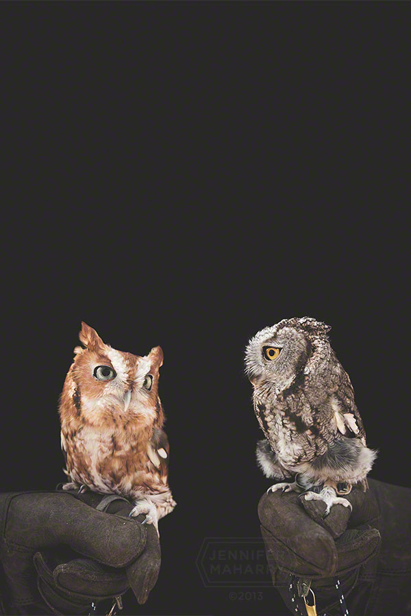 Eastern and Western Screech Owls