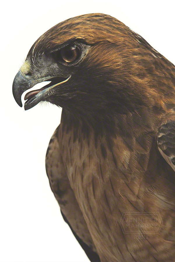 Red Tailed Hawk Face