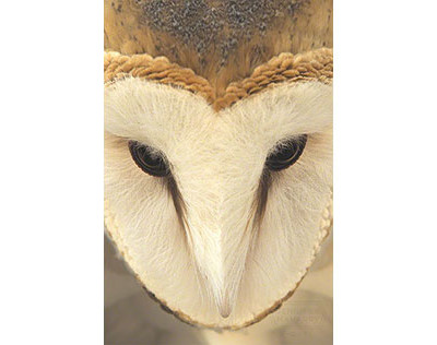 Barn_Owl_Face_500X316