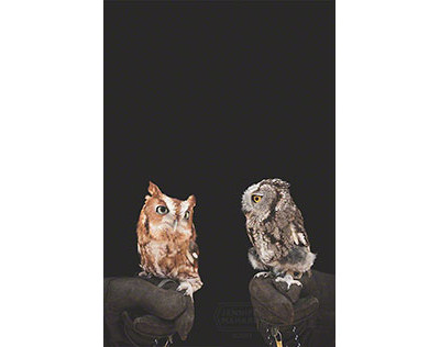 EasterN_and_Western_Screech_Owls__500X316