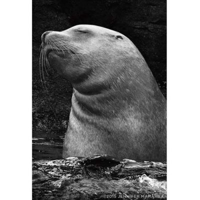 resting-sea-lion-product-page