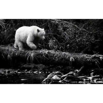 spirit-bear-on-log-product-page