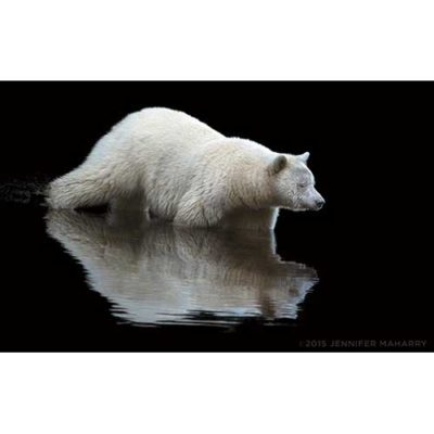 SPIRIT-BEAR-REFLECTING-PRODUCT-PAGE