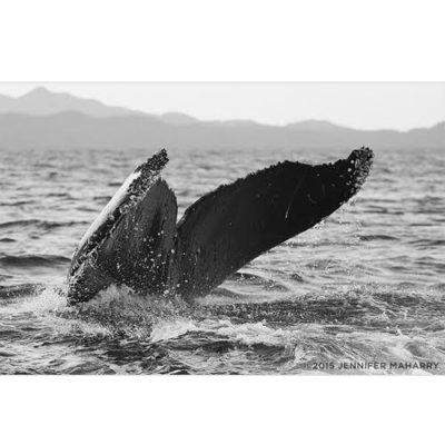 humpback_plunging-productimg