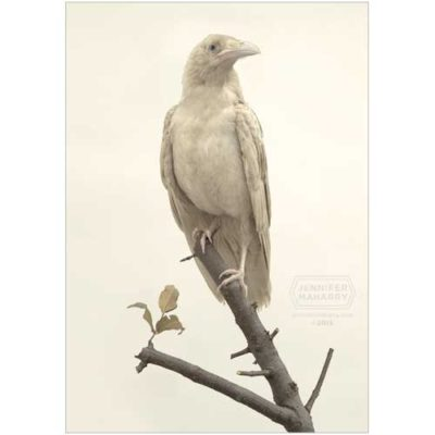 albino-raven-product-page