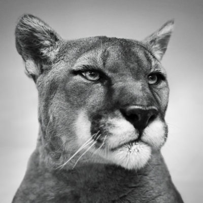 MOUNTAIN LION 900x900