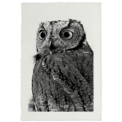 WESTERN SCREECH OWL HANDMADE PAPER 500x500